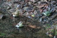 オオルリ、キビタキ対シジュウカラの睨めっこ - 上州自然散策2