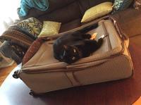 今日のスーツケースと猫 - にゃんこと暮らす・アメリカ・アパート