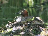 公園の沼で① カイツブリとバン - 今日の鳥さんⅡ