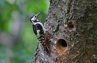 思い出の地で:アカゲラ - 武蔵野の野鳥
