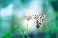 アゲハ蝶。 - *ぷるはあと*