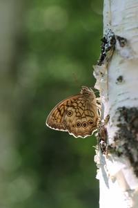 新鮮なキマダラモドキとの出会い - 蝶超天国