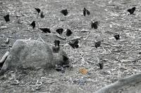 初めてのミヤマシロチョウ産卵シーンなど・2017 - 登山道の管理日記