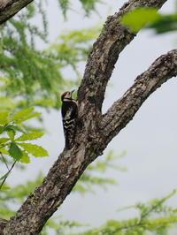 奥日光にいたアカゲラとオオアカゲラ - コーヒー党の野鳥と自然 パート2