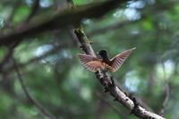 今年のサンコウチョウ 番外編 - 瑞穂の国の野鳥たち