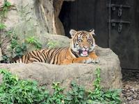 よこはま動物園ズーラシア 7月24日 スマトラトラ - お散歩ふぉと