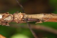 ドウボソカミキリ - Insect walk
