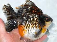7月26日新着金魚のご紹介です。 - フルタニ金魚倶楽部blog