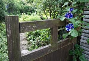 朝顔変わり咲き - 里山ガーデン2