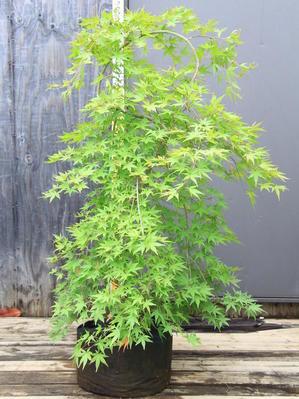 モミジ リュウセン 紅葉 流泉 美樹形 販売 価格 値段 画像 写真 庭木 植木 シンボルツリー お問合せ商品 -