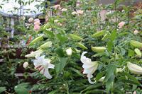 雨の朝、百合が咲いて - my small garden~sugar plum~
