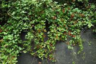 野イチゴとサル・・・草刈りとオニヤンマ - 朽木小川より 「itiのデジカメ日記」 高島市の奥山・針畑郷からフォトエッセイ