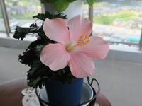 花屋で買ったハッピーセット ハイビスカスとガーベラ - ニッキーののんびり気まま暮らし