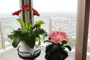 花屋で買ったハッピーセットハイビスカスとガーベラ -