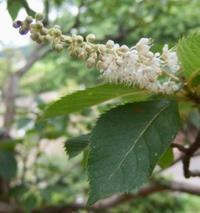#木の花 『令法』 Clethra barbinervis - 自然感察 *Nature * feeling*