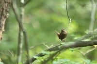 ミソサザイを写して見たがショボ過ぎる - 上州自然散策2