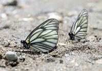 ミヤマシロチョウ  絶滅の危機 昨年から確認されず - ポータルぢゃないチョウの報道ナビ