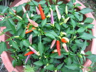 夏野菜は農薬いらず - 花の自由旋律