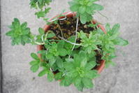スナビキソウの鉢植え - 埼玉南部の昆虫等生物観察