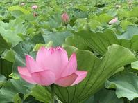 蓮の花 - sakurairo