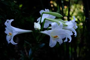 我家の百合の花 -