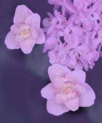 能護寺の紫陽花 22 - 光 塗人 の デジタル フォト グラフィック アート (DIGITAL PHOTOGRAPHIC ARTWORKS)