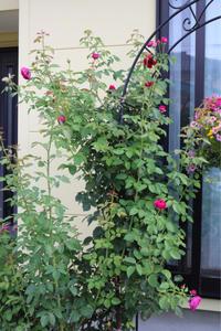 アーチのバラを考える - my small garden~sugar plum~
