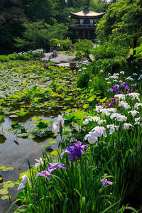 勧修寺の花菖蒲と紫陽花 - 花景色-K.W.C. PhotoBlog