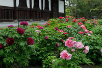 建仁寺の牡丹 - 花景色-K.W.C. PhotoBlog