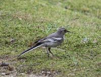 今日の鳥さん 170725 - 万願寺通信