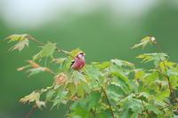 北海道の夏 ′17_ベニマシコ(6) - 彩の国 夢見人のフォト日記