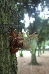 アブラゼミの羽化 - 写ればおっけー。コンデジで虫写真