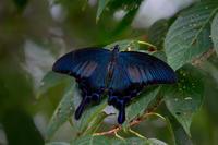カラスアゲハ - 身近な動物・植物