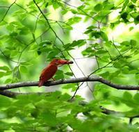 火の鳥、アカショウビンです(その2)・・・ - 一期一会の野鳥たち