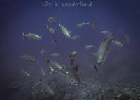 dogtooth tuna - Alice in wonderland