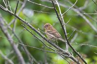 ウトナイ湖の幼鳥たち - やぁやぁ。