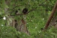 それ処では…【アオバズク・コアジサシ】 - 鳥観日和