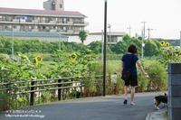 治水地に咲くひまわりの花!!! - 自然のキャンバス