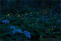 ヒメボタルと紫陽花 - 遥かなる月光の旅