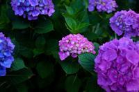紫陽花 - なよら風