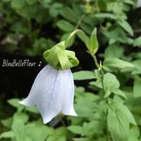 ブルーベルの花♡コドノプシス・クレマチディア - Bleu Belle Fleur☆ブルーベルフルール