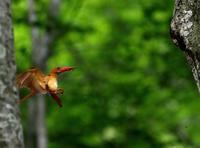 火の鳥、アカショウビンです(その3)・・・ - 一期一会の野鳥たち