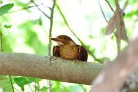 リュウキュウアカショウビン(Ruddy Kingfisher)/2017.07 - Birding