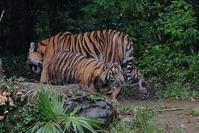 世界トラの日 - 動物園に嵌り中