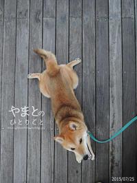 柴犬の兄弟ゲンカ 【動画あり】 - yamatoのひとりごと