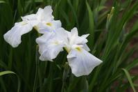 花しょうぶいろいろ(8)☆白系2、種間交配種 - さんじゃらっと☆blog2