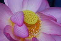 三渓園の蓮の花 - dekobo