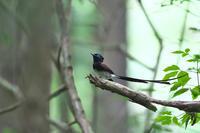 今年のサンコウチョウ 後編 - 瑞穂の国の野鳥たち