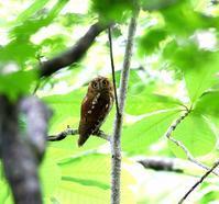 コノハズクがあちこちに(その4) - 一期一会の野鳥たち
