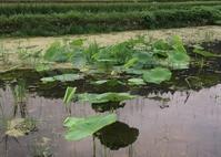 蓮根の花はまだ。下仁田ネギ土寄せ。種まき。今日のお弁当。 - にじまる食堂 & にじまる農園